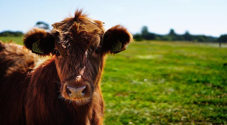 Cattle & Livestock